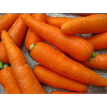 Fresh Carrot For Export